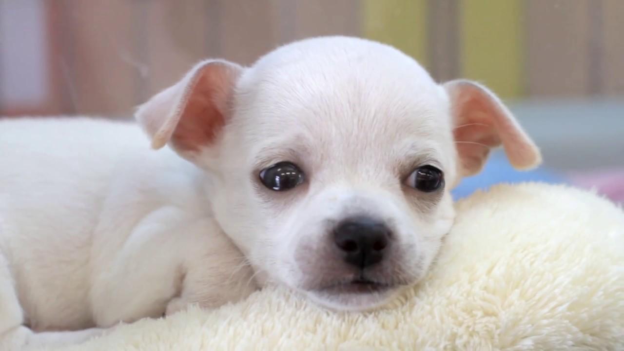Travel Japan - Cute Puppies at Pet Store