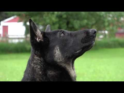 kraftwerk-k9-german-shepherd-happy-and-responsive-obedience!