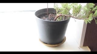 видео Как из яблони сделать бонсай из