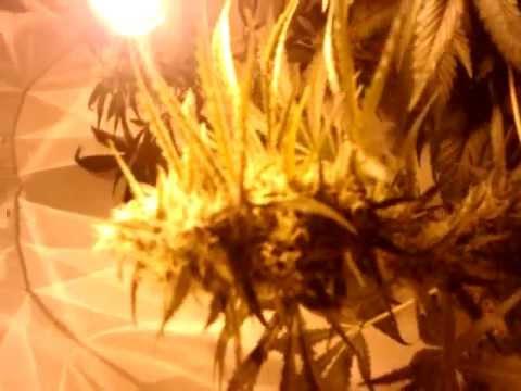 70 watt hps grow week 56 flowering