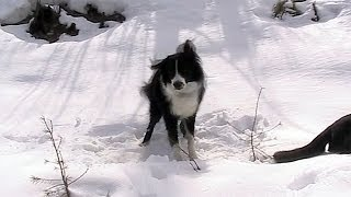 Henry Getting Silly in the Snow ~ Border Collie