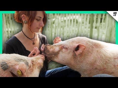 unsere-minischweine-aus-dem-labor-ziehen-ein-🐷