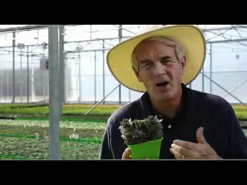 Sempervivum Tectorum 'Hardy Species Mix'