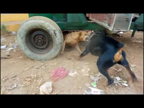 rottweiller-attack-local-gogs-rottweiler-aggressive-attack