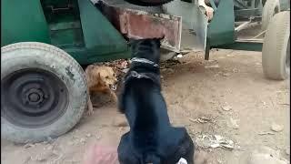 Rottweiller Attack Local Gog Rottweiler aggressive attack