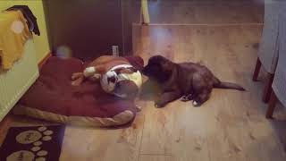 Leonberger Antics episode 127