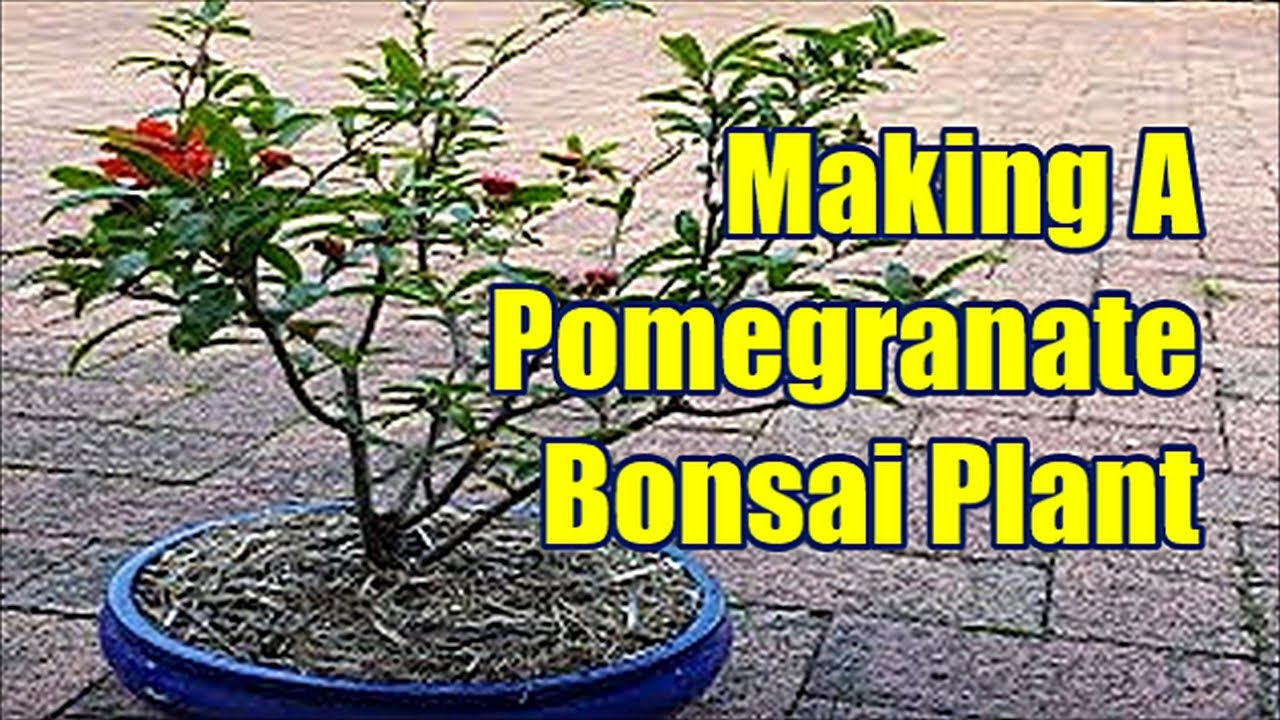 How To Make Pomegranate Bonsai Plant Pomegranate Bonsai Tree Youtube