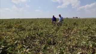 Harvesting Soybeans - America