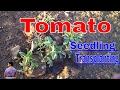 टम टर क ब ज स क स लग ए How To Grow Tomato Fro
