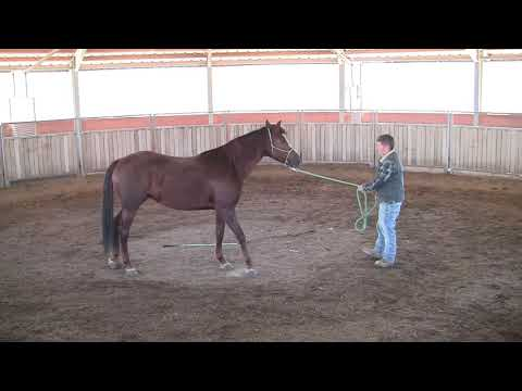Amazing Grace - Missouri Foxtrotter Mare 5 Years old -First Check on Miller-Ranch