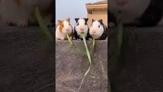 Морские свинки кушают. Неожиданная развязка