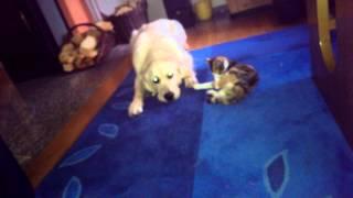 Cat's are Assholes / Cat annoys Dog