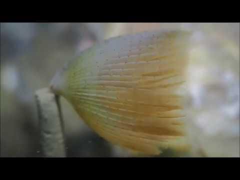 Waaierkokerworm (Sabella pavonina)