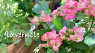 봄같은 겨울 베란다정원, 1월에 피어있는 오래가는 꽃이…
