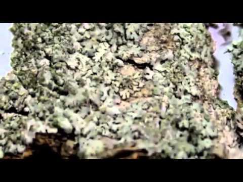пармелия лишайник