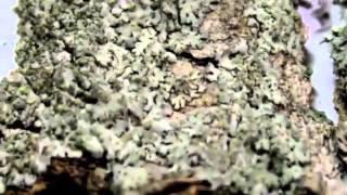 Пармелия Parmelia или Порезная трава при туберкулезе