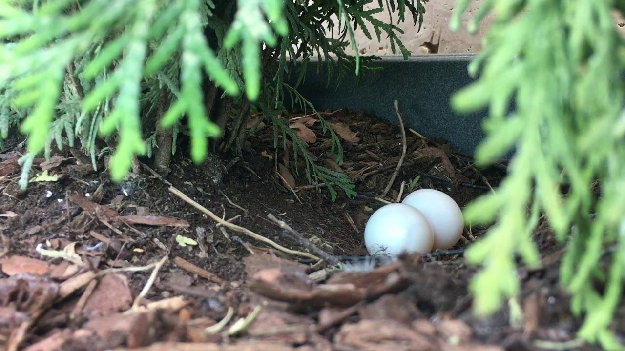 Nido Di Tortore Sul Balcone piccione cova uova sul balcone - youtube