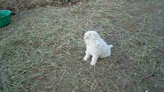 Great Pyrenees Pups Introduced To Boer Goat Herd