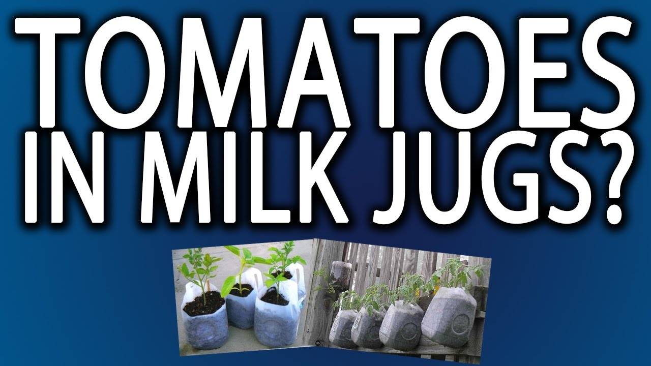 Growing Tomatoes In Milk Jugs We Have Tomatoes Youtube