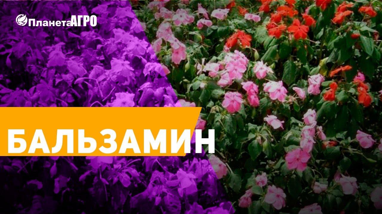 ?Бальзамин, Недотрога, Огонёк или Ванька-мокрый ✔️ Сад и огород с Планета Агро