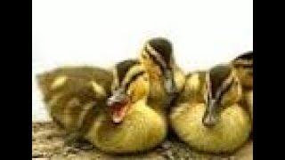 Первые мамины уроки новорожденным утятам, Аnimals,Tiere