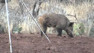 Hog Hunting North Texas(Head Shot)