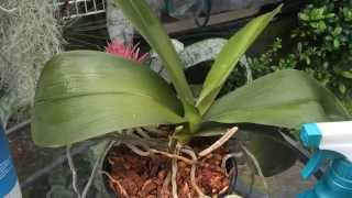 Phalaenopsis Orchid Care :Trimming Dead Roots, Removing old Orchid Blooms & Cleaning Orchid Leaves