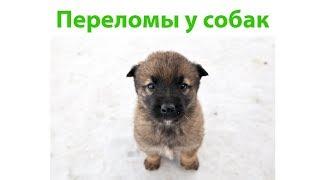 Перелом У Собаки & Как Помочь Собаке При Переломе. Ветклиника Био-Вет