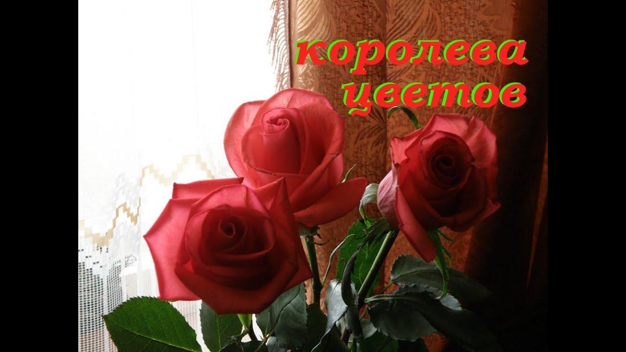 Красивые цветы розы