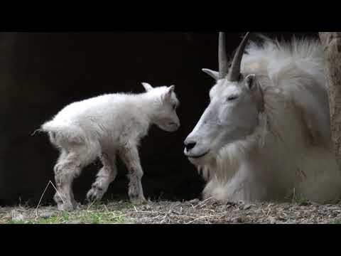 And baby mountain goat makes two, at the Oregon Zoo