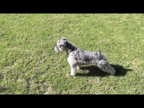Schnauzer attacks !