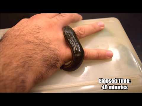 Leech Feeding Time-Lapse