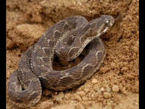 Top 10 Venomous Snakes In India  www toxicologycentre com
