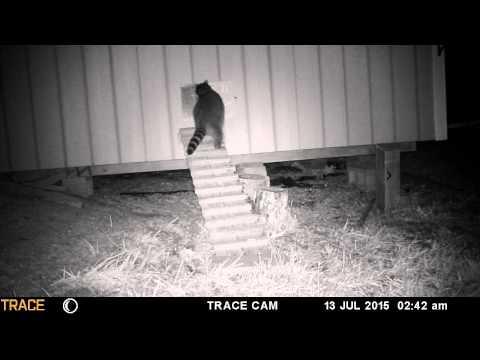 Racoon attack chicken coop with auto door