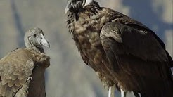 Grand Canyon National Park - California Condors Conservation