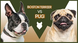 BOSTON TERRIER VS PUG