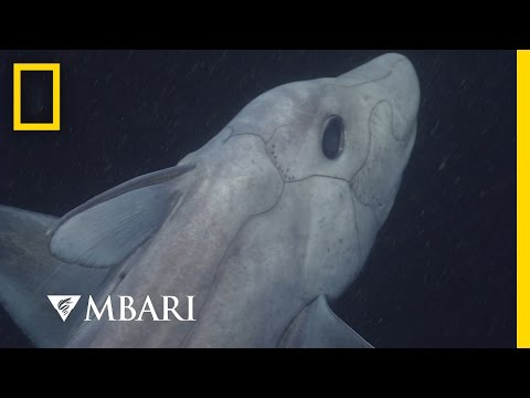 Ghost Shark Caught on Camera for the First Time | National Geographic
