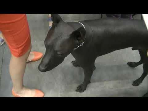 Xoloitzcuintle Euro Dog Show 2017
