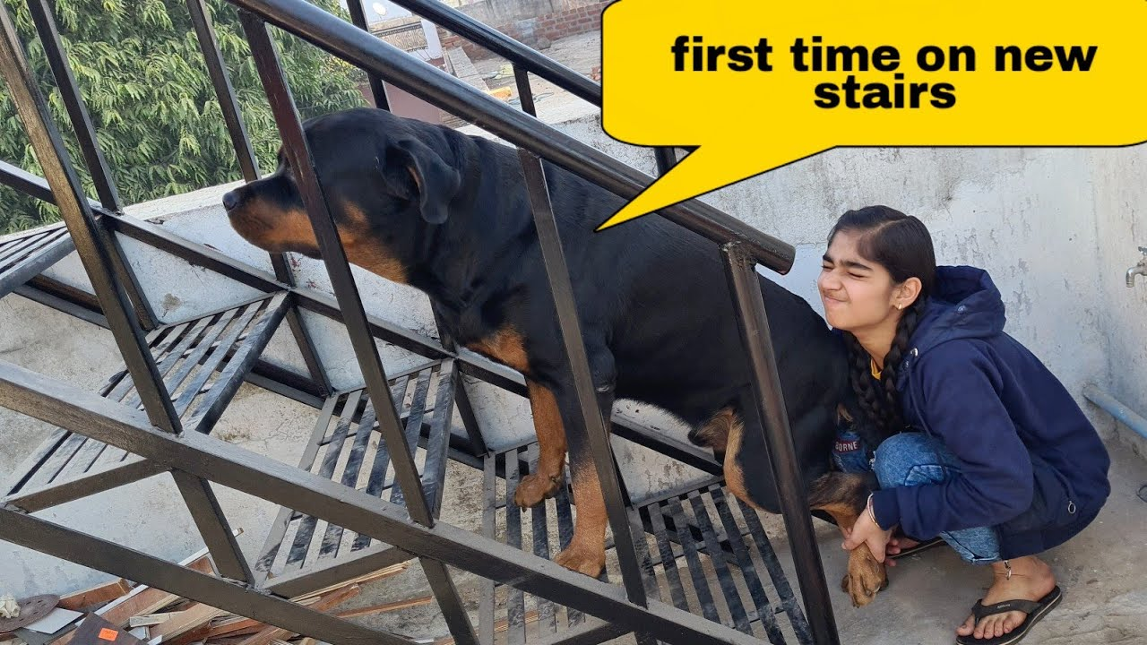 Anshu is helping Jerry to take stairs||funny dog videos.