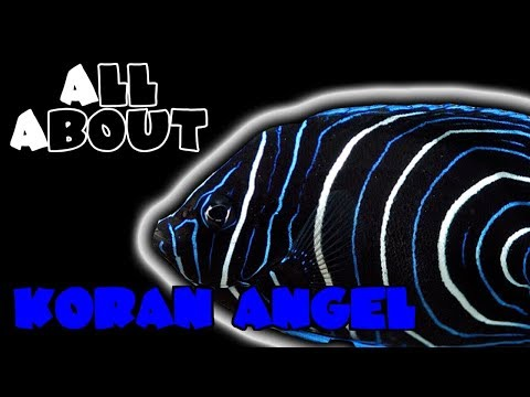 All About The Koran Angelfish