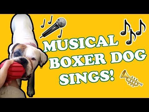 White rescue Boxer dog sings aka Mr Red ball karaoke!