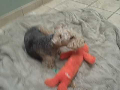 LAKELAND TERRIER MARLEY HOSPITALIZED - WIRE FOX TERRIER RESCUE ...