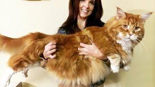 Omar, perhaps world's longest cat, finds internet fame