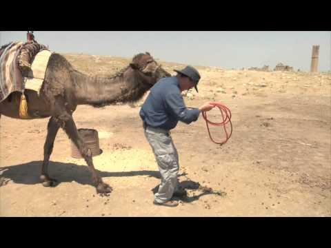 Biting Camel