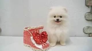 Купить щенка померанского шпица - Гламурные собачки. Мальчик 3мес.