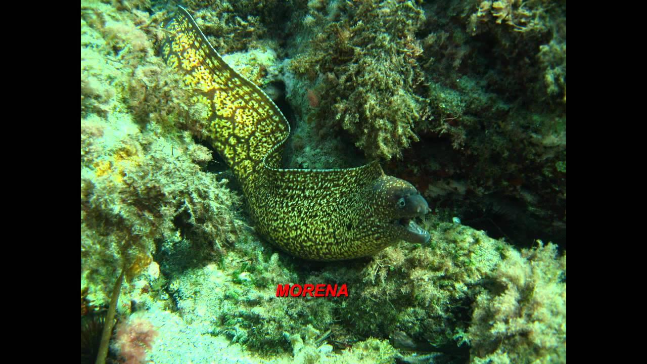Peces y dem s especies del mar mediterraneo youtube - Fotos de peces del mediterraneo ...
