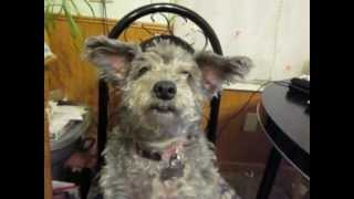 Pixi The Schnoodle Speaks!!!