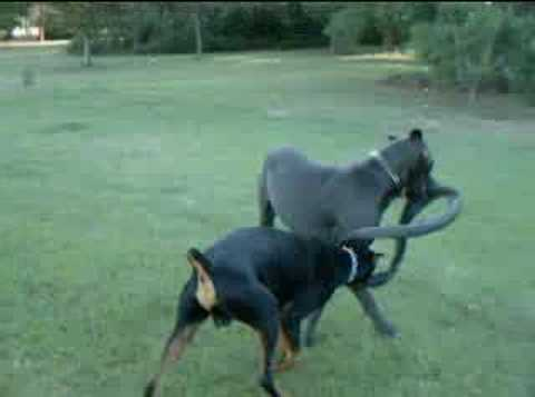 Great Dane and Doberman Pinscher Play with Tire - YouTube