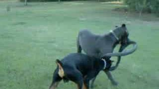 Great Dane And Doberman Pinscher Play With Tire