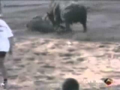 pitbull attaque un taurau pour sauver un homme